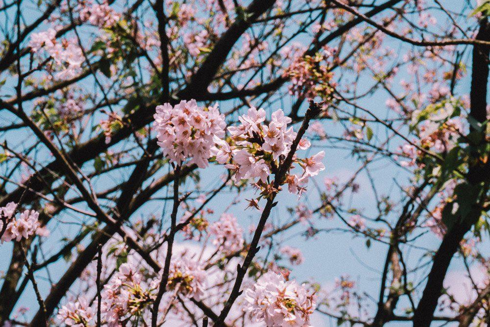 cherry_blossom_taipei-8348524
