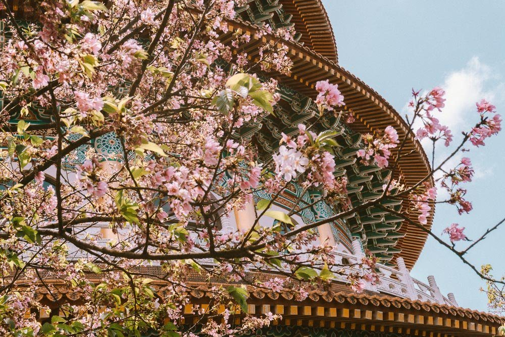 cherry_blossom_taipei-9655509