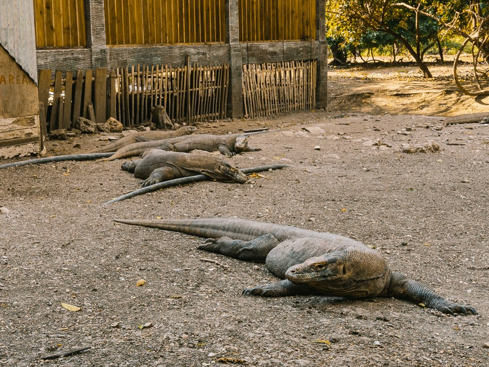 Rinca-Island-Komodo-Dragon-Indonesia